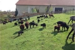 zahrada ovečky